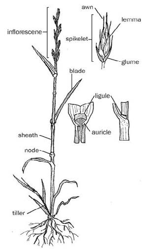 Figure 7: Side-view drawing of grass, with exploded views of the inflorescene and node