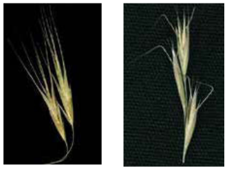 Figure 8: Side-by-side photos of grass seeds with no obvious difference other than bent awns