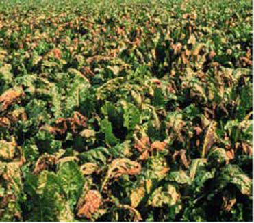 Figure 3: Photo of a crop of a leafy-green sugarbeet field, leaves appear to contain holes