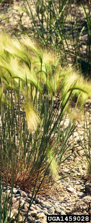 Figure 4: Photo of foxtail barely growing outdoors in a gravely substrate