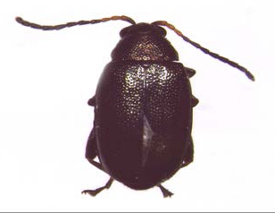 Figure 1: Close-up photo of small black beetle with long antennae