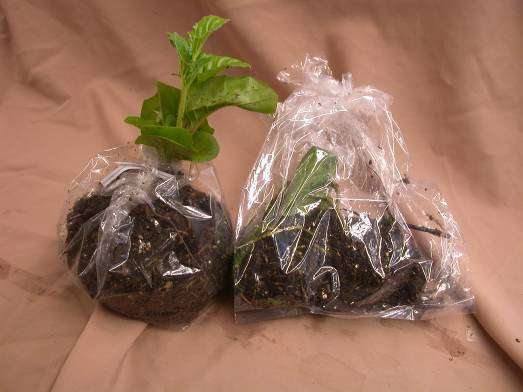 Figure 3: photo of two plants, one in a bag, one with just roots in a bag