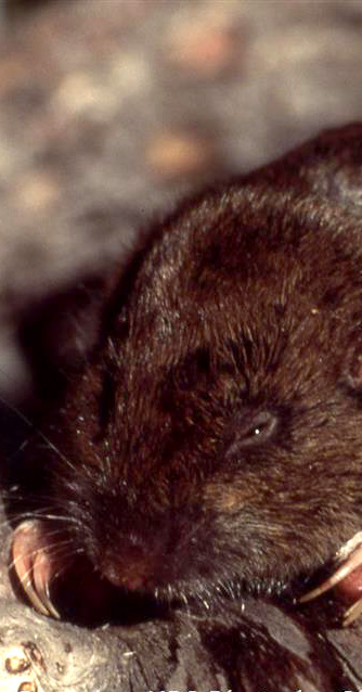 Photo of a pocket gopher.