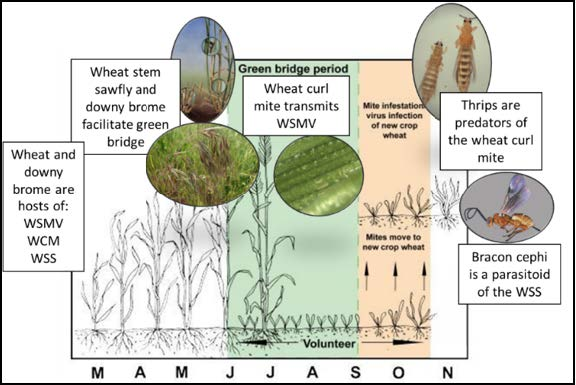 Figure 2: Graphic depicting insect, bacteria, and virus cycles throughout the growing season.