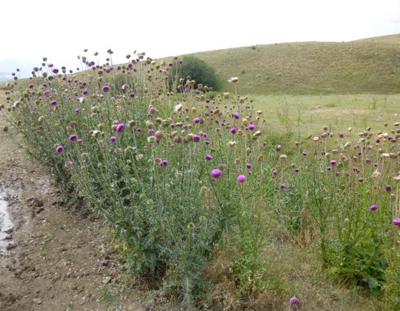 Figure 5: Photo of a group of mature thistle plants growing beside a muddy dirt road