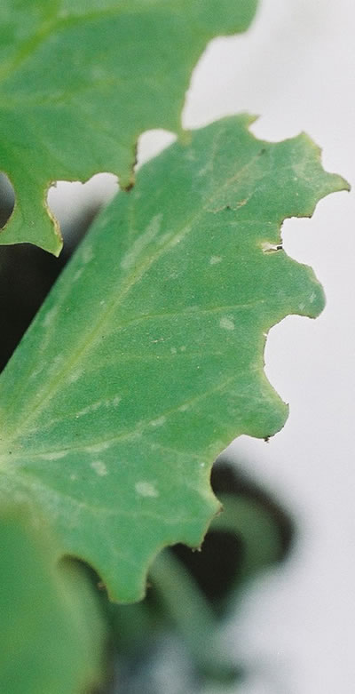 Figure 1: Close-up photo of a pea leaf that shows signs of weevil.