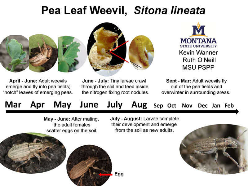 Figure 3: Detailed graphic depicting the life cycle of a leaf weevil.