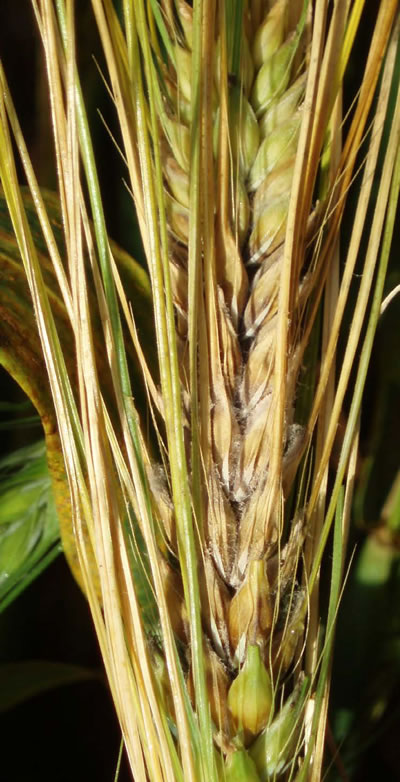 Close-up photo of barley. Details in caption.
