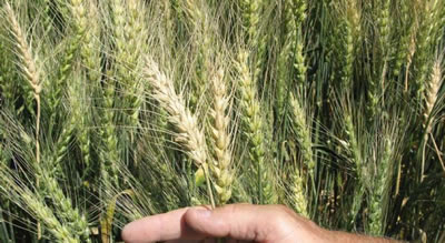 Figure 1.  Close-up photo of a large group of wheat heads.