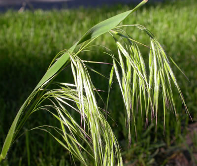 Photo of cheatgrass at the flowering stage.