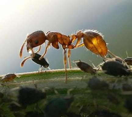 Figure 2: Close-up photo of an ant towering over a tiny aphid.