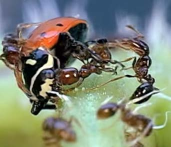 Figure 3.2: Multiple ants attacking lady beetle.