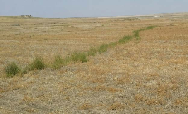 Figure 3: Photo of kochia plants, growing a line that is long enough to extend into the horizon.