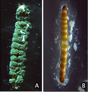 Side-by-side photos of dead wireworms, one is coated in fungus
