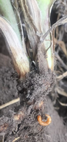 Photo of a wireworm on the root of a plant.  Appears recently pulled from the ground.