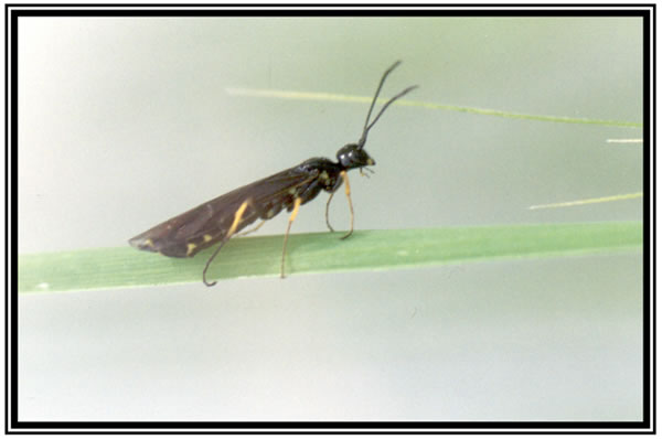 photo of a wheat stem sawfly, a small ant-like insect with wings